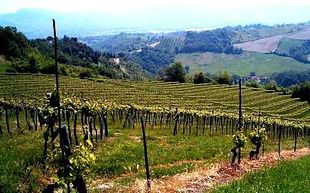 Pignoletto vineyards